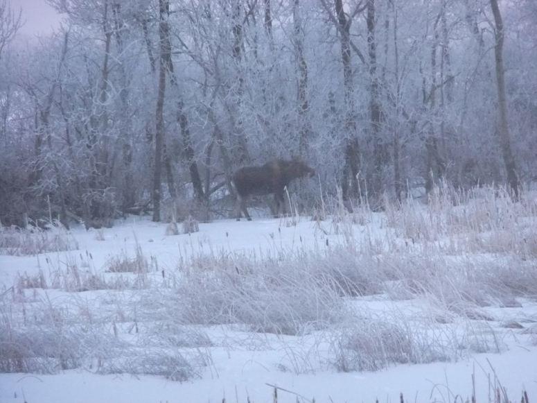moose-hoarfrost-r