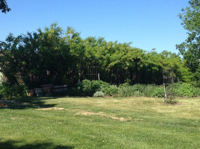 caragana full hedge