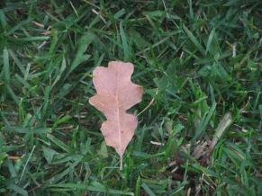 fall oak leaf in spring