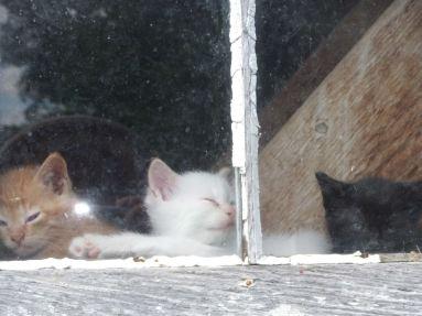 kittens in window 2
