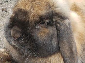 Randy rabbit