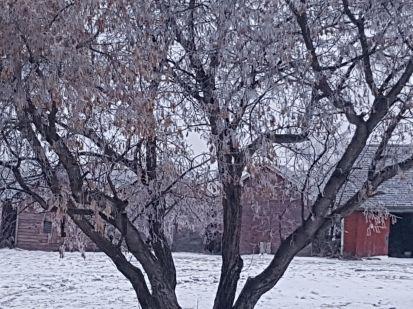 maple in hoarfrost